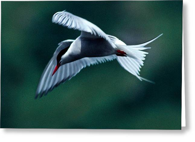 Kodiak Greeting Cards - Common Tern Greeting Card by Tim Rayburn