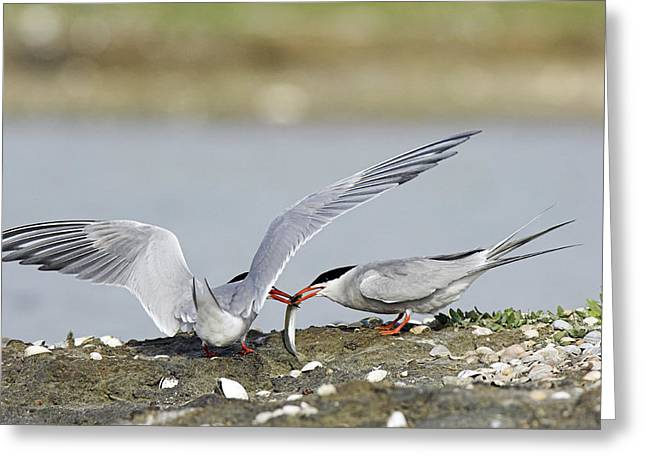 Tern Greeting Cards - Common Terns Greeting Card by Duncan Shaw