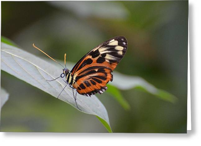 Common Tiger Butterfly Greeting Cards - Common Tiger Glassywing Greeting Card by Paulina Roybal