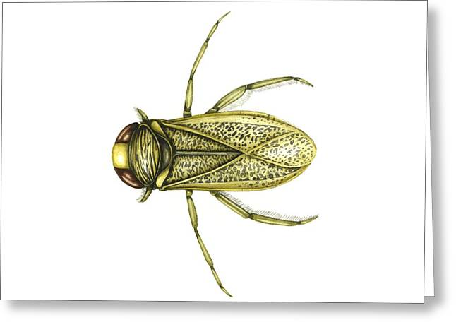 Boatman Greeting Cards - Common Water Boatman, Artwork Greeting Card by Lizzie Harper