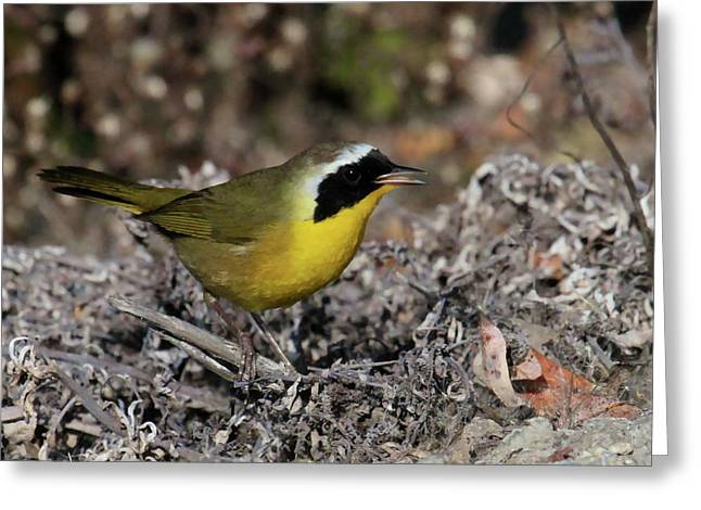 Songbird Prints Greeting Cards - Common Yellowthroat Greeting Card by Paul Marto
