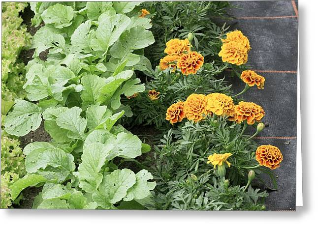 Lettuce Greeting Cards - Companion Planting Greeting Card by Bob Gibbons