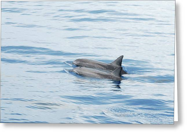 Spinner Dolphin Greeting Cards - Companions Greeting Card by Michael Peychich