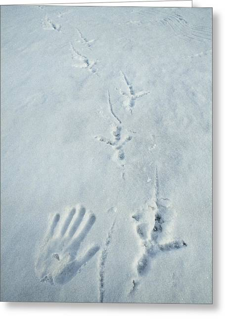 Animal Tracks Greeting Cards - Comparison Of Stellers Sea Eagle Track Greeting Card by Klaus Nigge