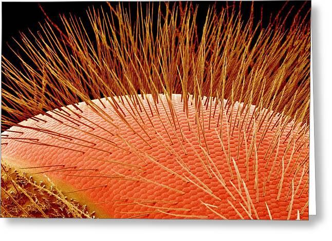 Compound Eye Of A Bee, Sem Greeting Card by Susumu Nishinaga