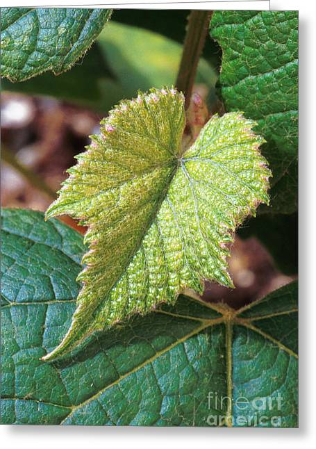 Concord Grapes Greeting Cards - Concord Grape Plant Greeting Card by Science Source
