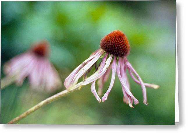 Cone Flower Greeting Card by Marcio Faustino