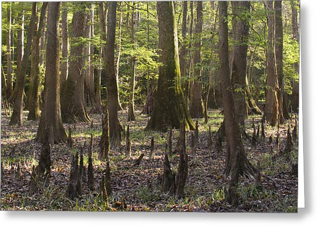 Knees Greeting Cards - Congaree National Park  Greeting Card by Dustin K Ryan