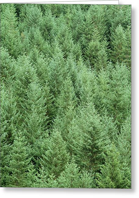 Conifer Tree Greeting Cards - Conifer Reforested Area Greeting Card by David Nunuk