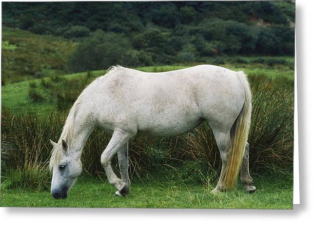Full Body Greeting Cards - Connemara Pony Greeting Card by The Irish Image Collection