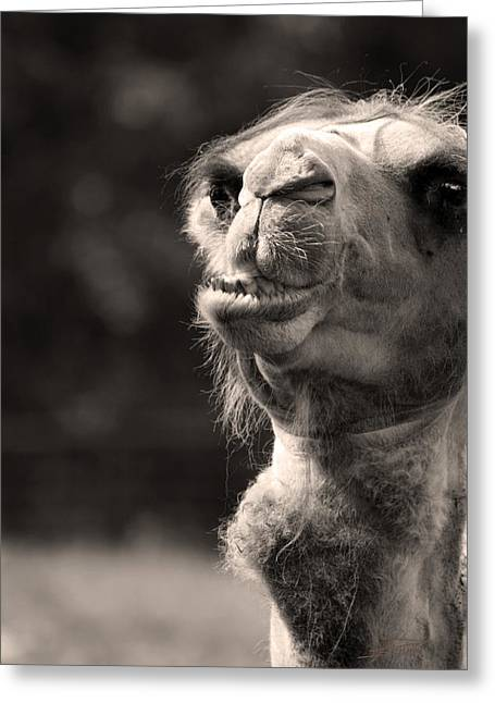 Connoisseur Greeting Cards - Connoisseur of Fine Humps Greeting Card by Barbara  White