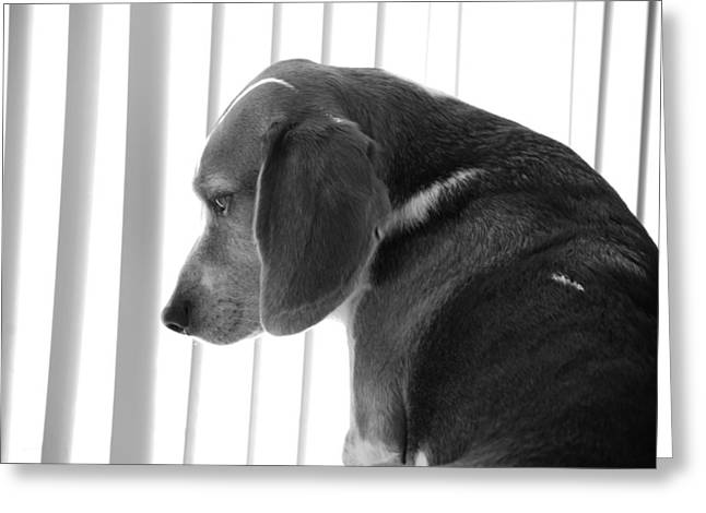 Beagle Greeting Cards - Contemplative Beagle Greeting Card by Jennifer Lyon