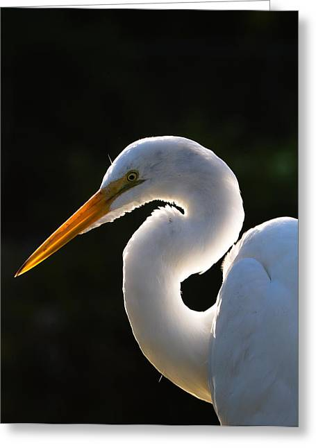 Ardea Greeting Cards - Contemplative Egret Greeting Card by Andres Leon