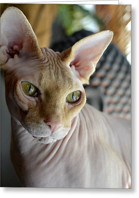 Sphynx Cat Greeting Cards - Contemplative Sphynx Greeting Card by Fraida Gutovich