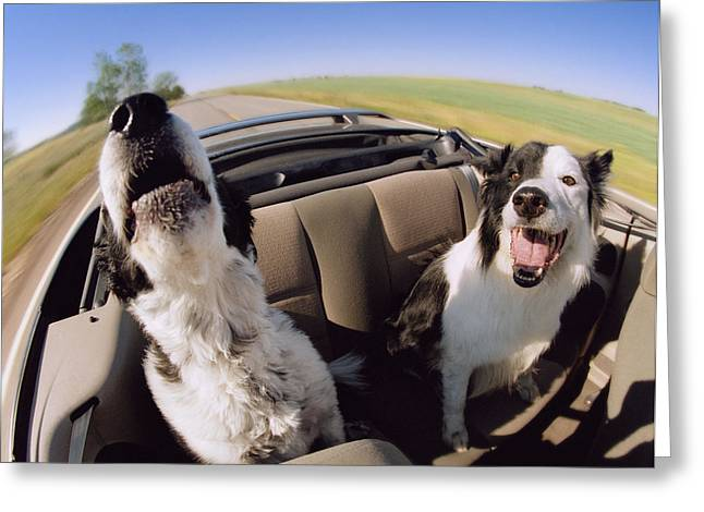 Pleasure Pair Greeting Cards - Convertible Dogs Greeting Card by Darwin Wiggett