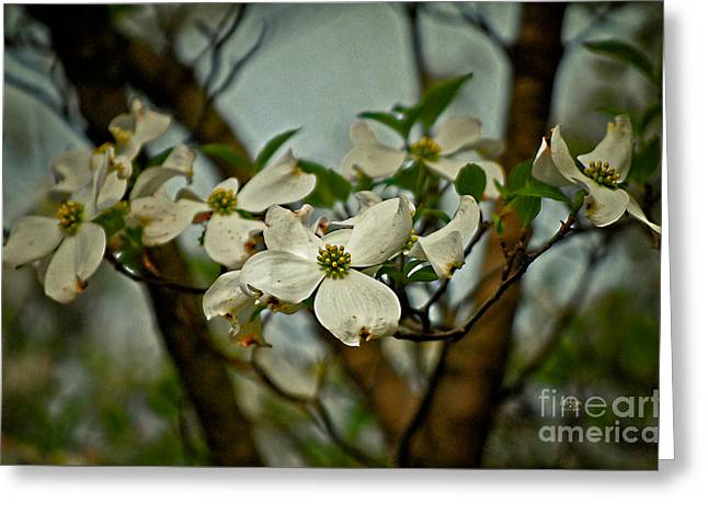 Dogwood Blossom Greeting Cards - Cool Breeze Greeting Card by Lois Bryan