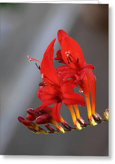 Crocosmia Greeting Cards - Cool Flames Greeting Card by Angie Vogel
