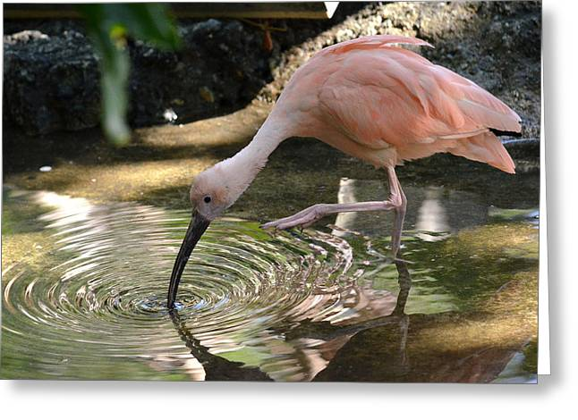 Ibis Greeting Cards - Cool Waters Greeting Card by Fraida Gutovich