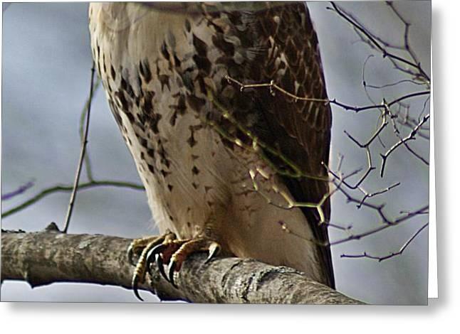 Cooper's Hawk 2 Greeting Card by Joe Faherty