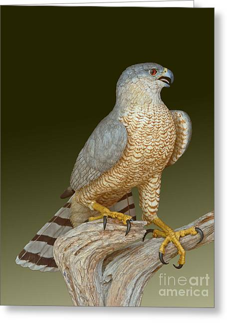 Cooper's Hawk Greeting Card by David Tabor