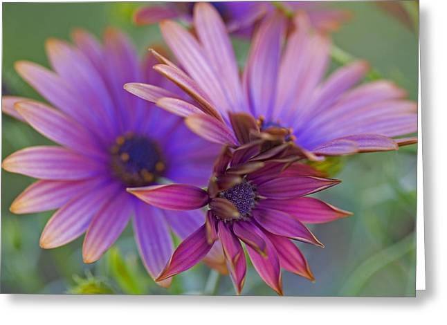 Copper Daisies 1 Greeting Card by Bonnie Bruno