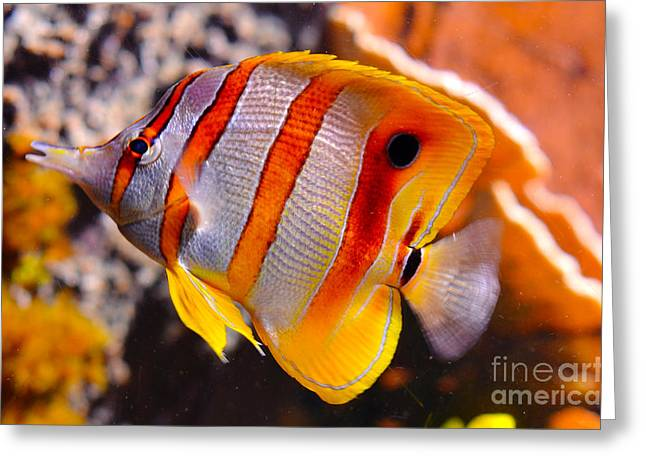 Copperband Butterfly Fish Greeting Card by Pravine Chester