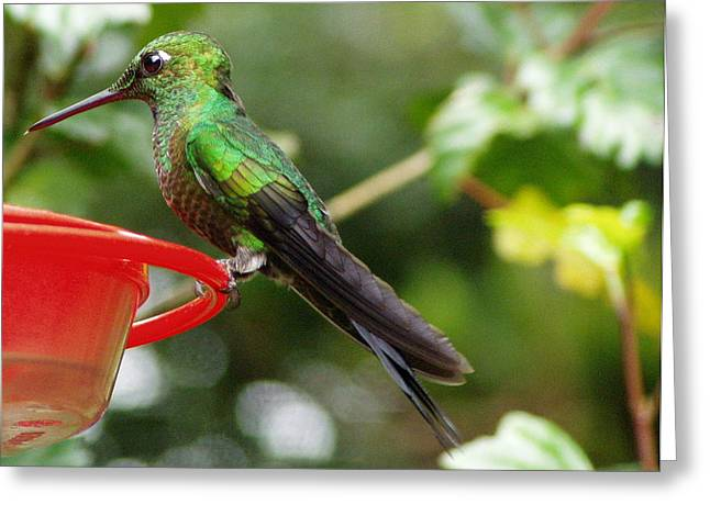 Coppery Greeting Cards - Coppery Headed Emerald Hummingbird Greeting Card by Laurel Talabere
