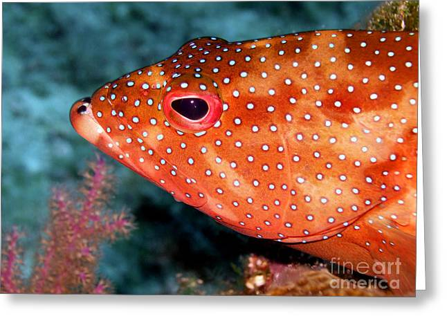 Water Grouper Print Greeting Cards - Coral Cods Head Greeting Card by Serena Bowles