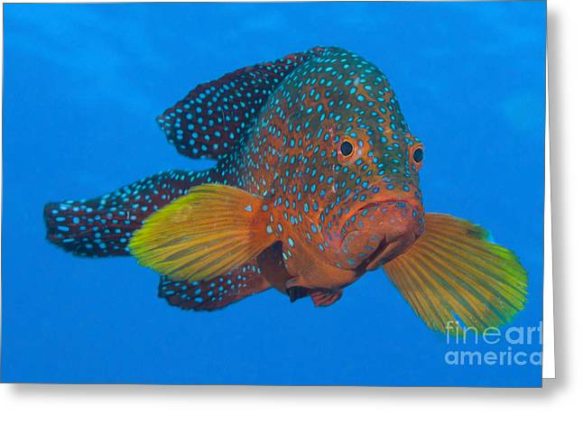 Osteichthyes Greeting Cards - Coral Grouper, Kimbe Bay, Papua New Greeting Card by Steve Jones