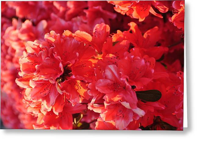 Coral Pink Azaleas Greeting Card by Jan Amiss Photography