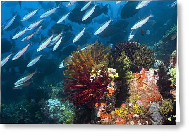 Coral Reef, Indonesia Greeting Card by Georgette Douwma