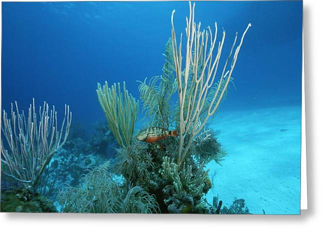 Grand Turk Island Greeting Cards - Coral Reef Scene Off The Coast Of Grand Greeting Card by Wolcott Henry