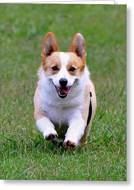 Dog At Play Greeting Cards - Corgi Greeting Card by Dorrie Pelzer
