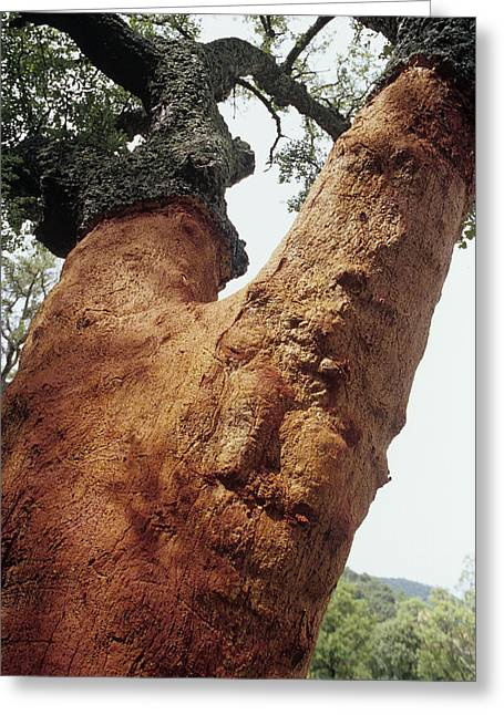 Quercus Greeting Cards - Cork Oak Tree Greeting Card by Dirk Wiersma