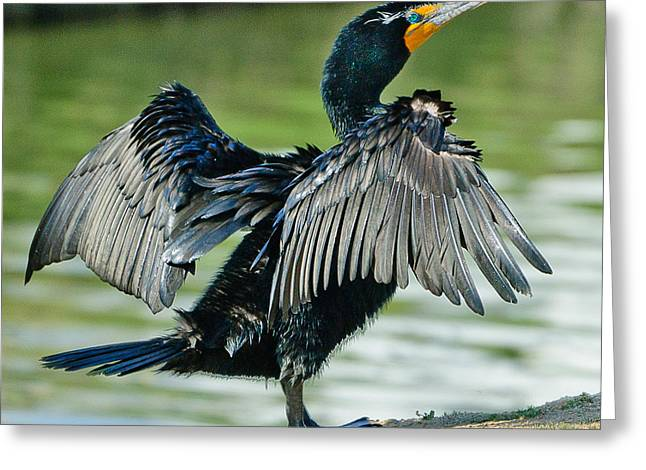 D200 Greeting Cards - Cormorant 7  Wilderness Lakes Greeting Card by  Bob and Nadine Johnston