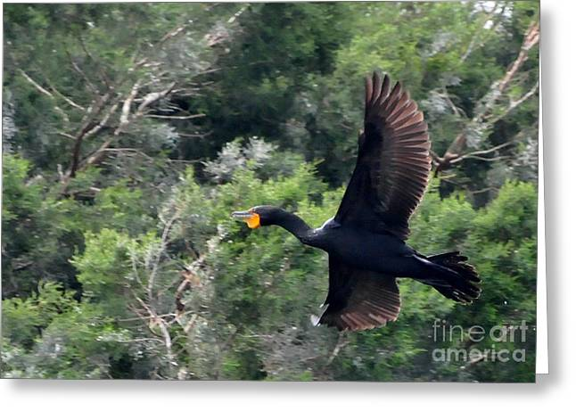 Large Birds Greeting Cards - Cormorant in Flight Greeting Card by Paul Ward