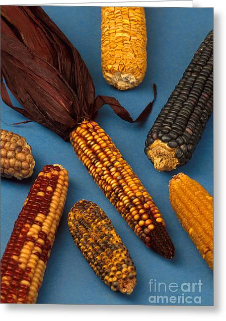 Cooperation Greeting Cards - Corn Mutations Greeting Card by Photo Researchers