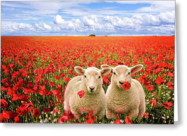 corn poppies and twin lambs Greeting Card by Meirion Matthias