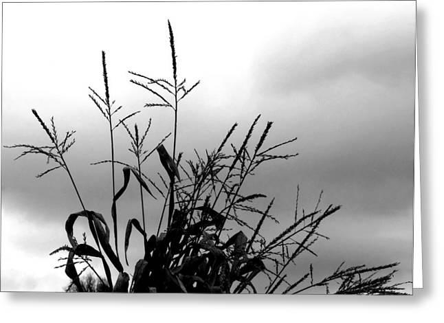 Corn Tassel Silhouette Greeting Card by Kay Sawyer