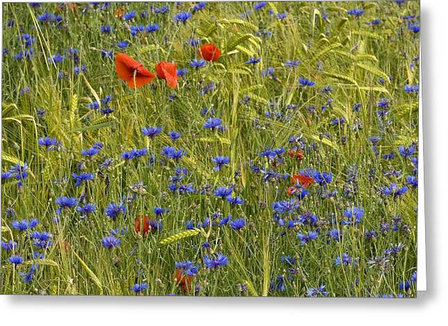 Cornfield Greeting Cards - Cornfield Meadow In France Greeting Card by Bob Gibbons