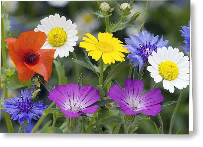 Cornfield Greeting Cards - Cornfield Weed Flowers Greeting Card by Bob Gibbons
