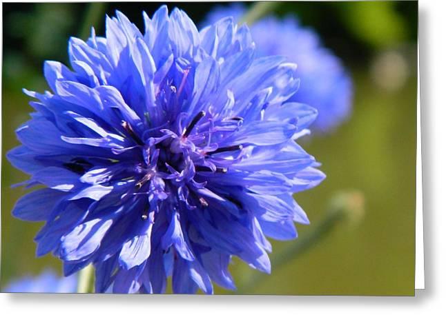 Cornflower Blue Greeting Card by Sharon Lisa Clarke