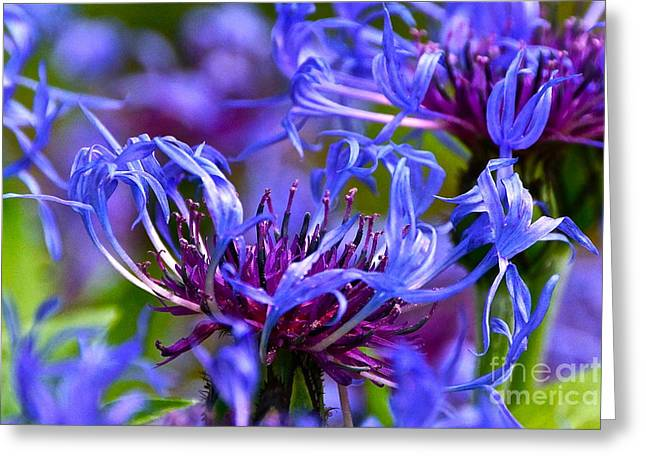 Centaurea Montana Greeting Cards - Cornflower Color Greeting Card by Byron Varvarigos