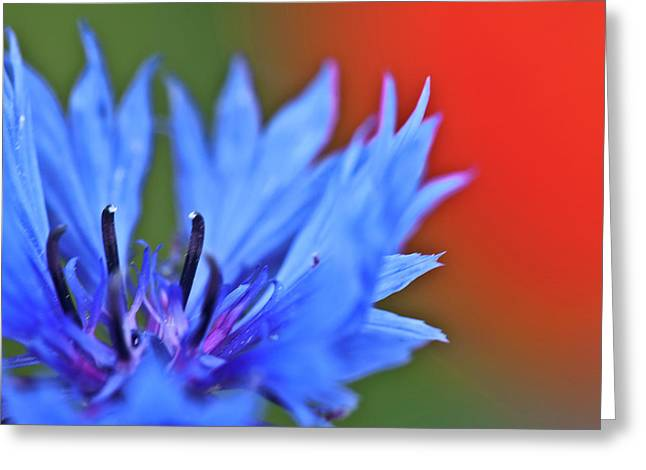 Garden Petal Image Greeting Cards - Cornflower Greeting Card by Heiko Koehrer-Wagner