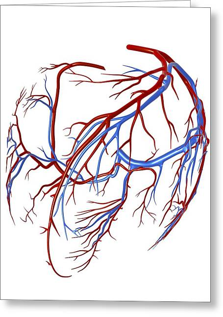 Pulmonary Vein Greeting Cards - Coronary Vessels Of The Heart Greeting Card by Pasieka