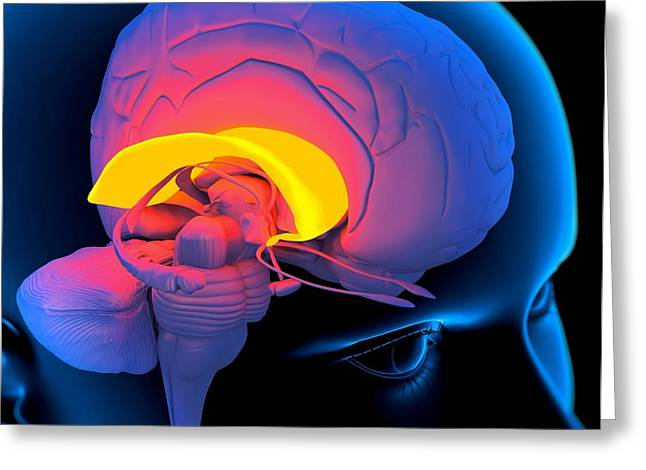 Psychological Background Greeting Cards - Corpus Callosum In The Brain, Artwork Greeting Card by Roger Harris