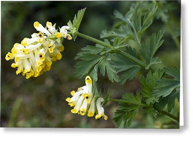 Nobilis Greeting Cards - Corydalis Nobilis Flowers Greeting Card by Bob Gibbons