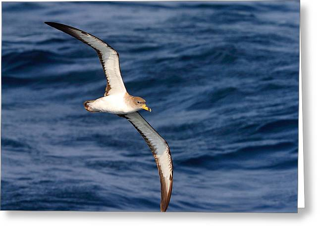 Cory Greeting Cards - Corys Shearwater Greeting Card by Tony Beck