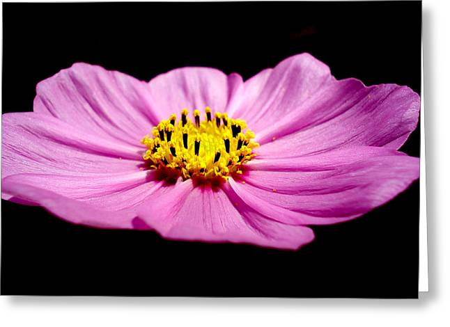 Cosmia Pink Flower Greeting Card by Sumit Mehndiratta