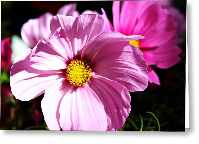 Oregon Flowers Greeting Cards - Cosmos Greeting Card by Cathie Tyler